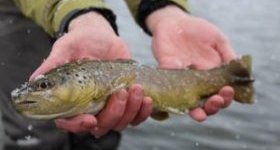 an excellent searching wintertime brown trout. Fly-fish the Colorado River near Silverthorne, Colorado