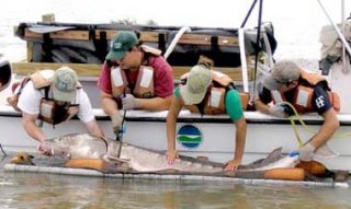 Sturgeon caught because of the Hudson River Fisheries Unit
